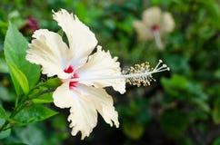 Schließen Sie oben von der Hibiscusblumen-Blütenstaubblume Stockfotos
