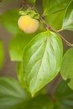 Schließen Sie oben von der jungen Frucht und vom Blatt der Persimone, Kakipflaumenbaum stockfoto