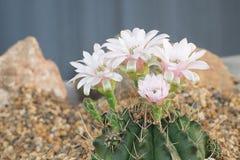 Schließen Sie oben von der Kaktusblume in der Weichzeichnung Lizenzfreie Stockfotos