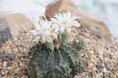 Schließen Sie oben von der Kaktusblume im Garten Stockfotografie