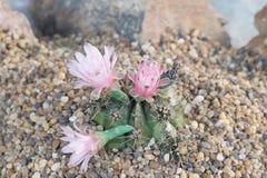 Schließen Sie oben von der Kaktusblume im Garten Stockfoto