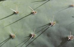 Schließen Sie oben von der Kaktusfeige-Kaktus-Auflage Stockbilder