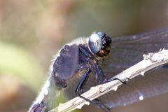 Schließen Sie oben von der Keeled-Abstreicheisen-Libelle, Orthetrum-coerulescens Lizenzfreie Stockbilder