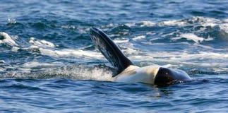 Schließen Sie oben von der Killerwalschwertwalschwimmen und vom Spielen im Ozean Lizenzfreie Stockbilder