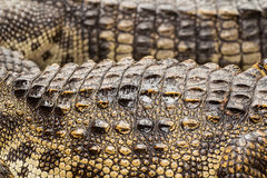 Schließen Sie oben von der Krokodilhaut Stockbild