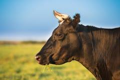 Schließen Sie oben von der Kuh in der Wiese oder fangen Sie mit grünem Gras im Mund auf kuh Stockfotografie