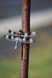 Schließen Sie oben von der Libelle Lizenzfreies Stockbild