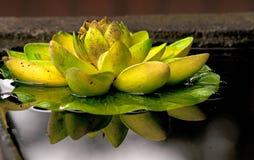 Schließen Sie oben von der Lotosanlage, die im Pool reflektiert wird. Stockbild