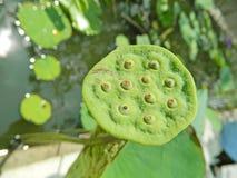 Schließen Sie oben von der Lotus-Blumenhülse Lizenzfreies Stockbild