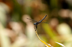 Schließen Sie oben von der männlichen blauen Dasher-Abstreicheisen-Libelle auf einem Blatt Stockfotografie