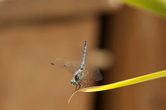 Schließen Sie oben von der männlichen blauen Dasher-Abstreicheisen-Libelle auf einem Blatt Lizenzfreies Stockbild