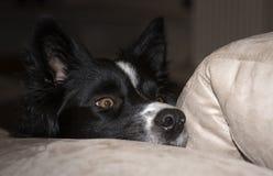 Schließen Sie oben von der Mündung eines border collie-Welpen, der auf der Couch sich entspannt lizenzfreies stockfoto