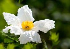 Schließen Sie oben von der Matilija Mohnblume ~ Kalifornien-Baum-Mohnblume Stockbild