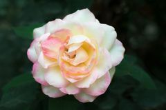 Schließen Sie oben von der milchigen weißen rosafarbenen Blume stockfotos