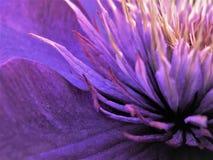 Schließen Sie oben von der Mitte der multi blauen Klematis-Blume lizenzfreies stockfoto