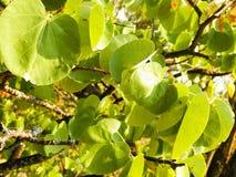 Schließen Sie oben von der Niederlassung mit grünen Blättern Balkan-Natur Lizenzfreies Stockfoto