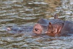 Schließen Sie oben von der Nilpferdschwimmen Lizenzfreies Stockbild