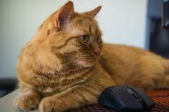 Schließen Sie oben von der orange Katze, die nahe bei einer Maus sitzt; flache Schärfentiefe lizenzfreies stockfoto