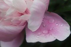 Schließen Sie oben von der Pfingstrosenblume Stockfotos