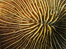 Schließen Sie oben von der Pilzkoralle Stockfotos