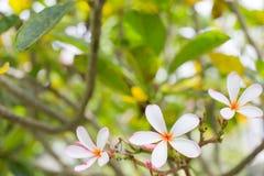Schließen Sie oben von der Plumeriablüte Stockbild