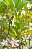 Schließen Sie oben von der Plumeriablüte Lizenzfreie Stockfotografie