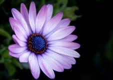 Schließen Sie oben von der purpurroten Dahlie Lizenzfreie Stockfotografie