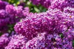 Schließen Sie oben von der purpurroten lila Blume Stockfoto