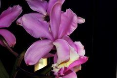 Schließen Sie oben von der purpurroten Orchideenblume Stockfotografie