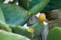 Schließen Sie oben von der Ratte, die Kaktusfrucht isst Lizenzfreies Stockbild