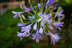 Schließen Sie oben von der recht purpurroten Blume Lizenzfreies Stockfoto