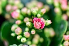 Schließen Sie oben von der recht rosa Blume in der Blüte mit unscharfem Hintergrund Stockfotografie