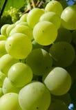 Schließen Sie oben von der reifen goldenen Trauben-Gruppe auf Rebe Stockfoto