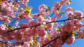 Schließen Sie oben von der rosa Blüte Cherry Tree Branch, Kirschblüte, während der Frühlings-Saison auf rosa Hintergrund stock video