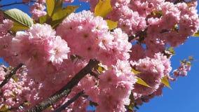 Schließen Sie oben von der rosa Blüte Cherry Tree Branch, Kirschblüte, während der Frühlings-Saison auf rosa Hintergrund stock footage