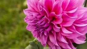 Schließen Sie oben von der rosa Blume: Aster mit den rosa Blumenblättern und gelbem Herzen für Hintergrund oder Beschaffenheit Lizenzfreie Stockfotografie
