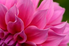 Schließen Sie oben von der rosa Blume: Aster mit den rosa Blumenblättern und gelbem Herzen für Hintergrund oder Beschaffenheit Lizenzfreies Stockfoto