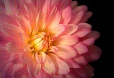 Schließen Sie oben von der rosa Dahlie Lizenzfreie Stockfotografie