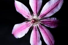 Schließen Sie oben von der rosa und weißen Blume Stockbilder