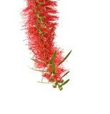 Schließen Sie oben von der roten Blume Stockbilder