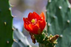 Schließen Sie oben von der roten Blume des Kaktus lizenzfreie stockfotografie