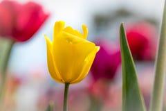 Schließen Sie oben von der roten und gelben Tulpe im Frühjahr Stockbild