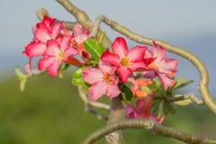 Schließen Sie oben von der roten Wüstenrose Tropische Blume des Adenium Stockfoto
