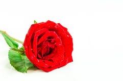 Schließen Sie oben von der Rotrose auf weißem Hintergrund, selektiver Fokus Lizenzfreies Stockfoto