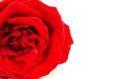 Schließen Sie oben von der Rotrose auf weißem Hintergrund, selektiver Fokus Lizenzfreie Stockfotografie