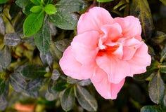 Schließen Sie oben von der schönen rosa Blume der Azalee - Rhododendron Simsii mit grünen Blättern Stockfotos