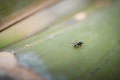 Schließen Sie oben von der schwarzen Ameise, die auf dem Holz, Makroporträt einer Ameise stillsteht Lizenzfreies Stockbild