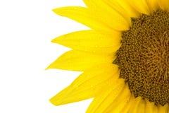 Schließen Sie oben von der Sonnenblume Stockfotos