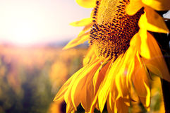 Schließen Sie oben von der Sonnenblume lizenzfreies stockbild