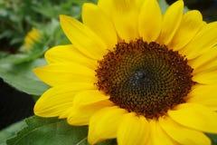 Schließen Sie oben von der Sonnenblume Stockbilder